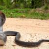 4 Ciri-Ciri Ular Kobra atau Berbisa yang Ada Di Sekeliling Rumah