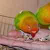 Jangan Sampai Salah Makan, Ini Ternyata Rahasia Makanan Burung Lovebird Biar Makin Gacor!