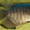 7 Jenis Makanan Ikan Gurame Agar Makin besar dan Cepat Panen