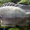 Banyak yang Sering Salah, Ini Ciri-Ciri Ikan Mujair yang Bisa Diketahui