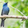 6 Jenis Makanan Burung Selendang Biru dan Tips Merawatnya Dirumah