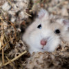 Perhatikan! Ini Ciri-Ciri Fisik Hamster Sedang Hamil dan Akan Melahirkan Anaknya