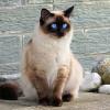 Begini Cara Merawat Kucing Himalaya dengan Benar Agar Umur Panjang
