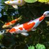 Ciri Ciri Ikan Koi Bertelur dan Teknik Pemijahannya Bagi Pemula