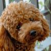 Tertarik Untuk Pelihara Anjing Poodle? Berikut Ini Cara Merawatnya!