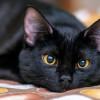 Rekomendasi Terbaik Untuk Nama Kucing Hitam Beserta Artinya