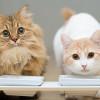 Kenali Dampak Memberikan Tempe Untuk Kucing yang Dapat Membahayakannya