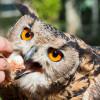 Panduan Cara Memberi Makan Burung Hantu Yang Benar untuk Pemula