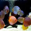8 Jenis Makanan Ikan Discus Terbaik Yang Paling Disukainya
