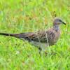 Dijamin Gacor, Ini 8 Makanan Burung Tekukur Agar Rajin Bunyi