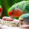 Makin Gacor! Ini Pilihan Vitamin Lovebird Terbaik untuk Memenuhi Kebutuhan Nutrisinya