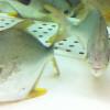Sebelum Ternak, Kenali Dulu 8 Ciri-ciri Ikan Bawal