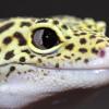 Mau Pelihara? Ini Daftar Jenis Gecko dan Harga Terbarunya di Tahun 2020