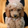 Jangan Kaget! Ini 10 Jenis Ras Anjing Termahal di Dunia, Harganya Sampai Ratusan Juta!