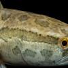 Ikan Gabus Ternyata Punya Banyak Manfaat untuk Kesehatan, Inilah Faktanya!