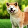 Duel Anjing Penjaga: Akita Vs German Shepherd, Mana yang Menurut Kamu Lebih Kuat?