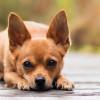 Adu Lucu: Chihuahua Vs Dachshund, Mana yang Menurut Kamu Paling Imut?