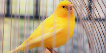 7 Cara Merawat Burung Kenari Agar Gacor Dan Postur Bagus Pintarpet