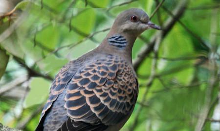 Begini Cara Merawat Burung Perkutut Agar Gacor dan Sering Bunyi, Dijamin Ampuh!