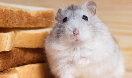 Awas Bahaya! Ini Jenis Makanan yang Tidak Boleh Dimakan Hamster Peliharaan