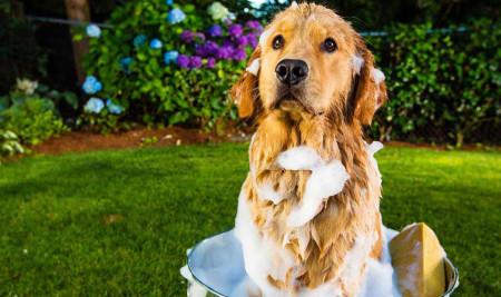 Jangan Khawatir, 10 Cara Menghilangkan Bau Anjing ini Sangat Ampuh