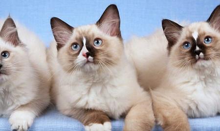 Mengenal Kucing Ragdoll, dari Ciri-Ciri, Jenis, Sejarah, & Fakta Uniknya