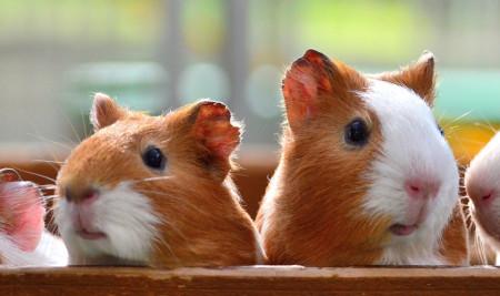 Banyak yang Salah Kaprah, Ini Ternyata Perbedaan Marmut dan Hamster Sebenarnya