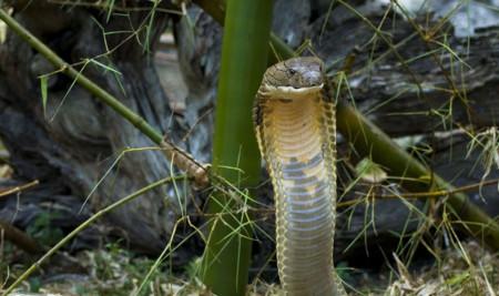 Terungkap! Ini Pilihan Mangsa untuk Jadi Makanan Ular Kobra di Alam Liar