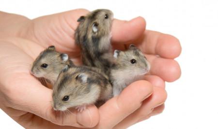 Ingin Bisnis Hamster? Yuk, Ketahui 9 Cara Ternak Hamster Ini!