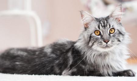 Mengenal Kucing Maine Coon, dari Ciri, Jenis, Sejarah, & Fakta Uniknya!