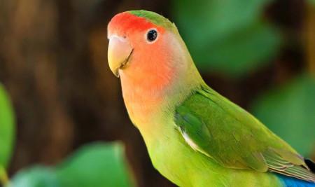 Belum Tahu Macam-macam Lovebird? 10 Jenis ini Paling Populer, Loh!