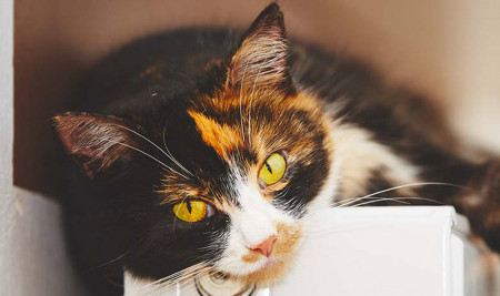 Kucing Milikmu Birahi? Ketahui 8 Cara Mengatasi Kucing Birahi Ini!