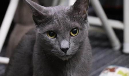Lucu dan Imut! Ini 7 Jenis Kucing Ras yang Mempunyai Mata Besar