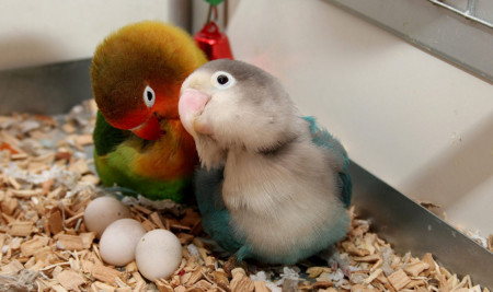 Ciri-Ciri Lovebird Betina Mau Bertelur dan Cara Merawat Hingga Menetaskan Anaknya