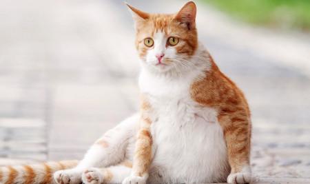 7 Tips dan Cara Merawat Kucing Hamil Sehat Sampai Melahirkan