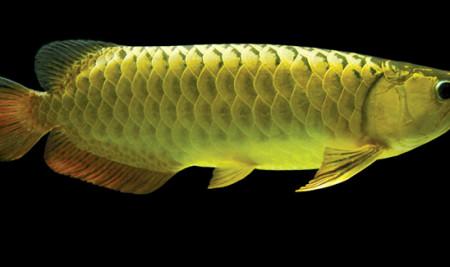 Sebelum Membelinya, Kenali Jenis-Jenis Ikan Arwana yang Bikin Mata kita Terpesona!
