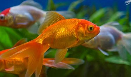 13 Jenis Ikan Hias Air Tawar yang Bisa Dicampur dan Mudah Dipelihara di Akuarium