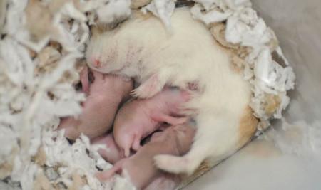 Kejam deh! Ini Alasan Kenapa Hamster Sering Memakan Anaknya Sendiri yang Baru Lahir