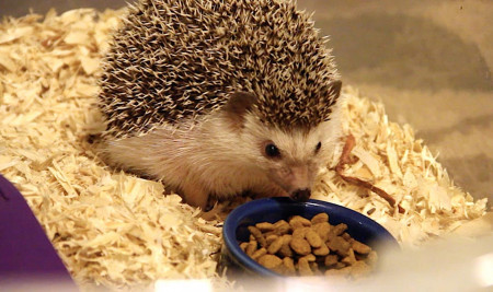 Rahasia Pilihan Makanan Landak Mini Terbaik, Harganya Murah dan Mudah Ditemukan