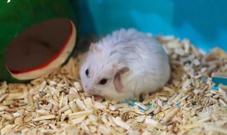 Jangan Panik, Ini Penyebab Bulu Hamster Rontok dan Cara Mengatasinya!
