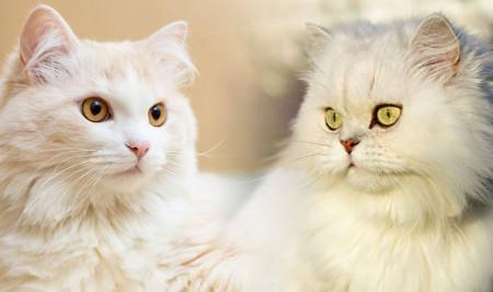Perbedaan Kucing Persia dan Anggora, Mulai Ciri Fisik, Tingkah Laku, dan Harganya