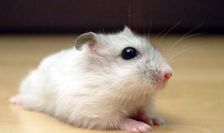 Hati-hati, Ini 10 Tanda Hamster yang Stres dan Cara Mengatasinya dengan Mudah