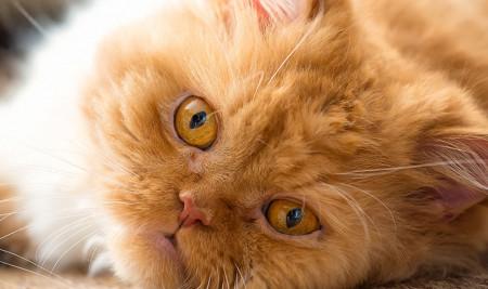 Ingin Tahu Cara Merawat Kucing Persia? Ikuti 7 Langkah Mudah Ini!