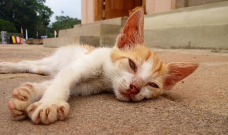 Jangan Sepelekan, Ini Dia Ciri Ciri Kucing Keracunan Makanan yang Harus Kamu Waspadai