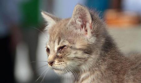 Jangan Biarkan Mata Kucing Bengkak Terlalu Lama, Cari Tahu Penyebab Utama dan Cara Mengobatinya!!