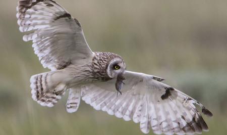 Jangan Asal Kasih! Kenali Dulu Makanan Burung Hantu Berdasarkan Jenisnya