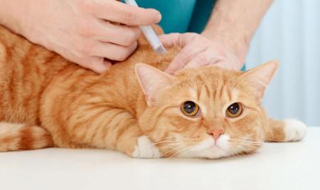 Catat! Ini Dia Berbagai Manfaat Vaksin Kucing dan Hal Penting yang Harus Diperhatikan