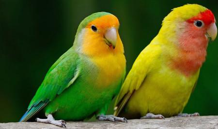 Pasti Gacor dan Jinak! Gunakan 7 Cara Merawat Lovebird Berikut