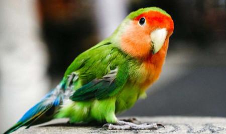 Mudah Diatasi! Ini 7 Penyebab Bulu Lovebird Rontok Terus