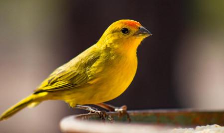 Gacor dan Postur Bagus! Begini Cara Merawat Burung Kenari yang Mudah Dilakukan